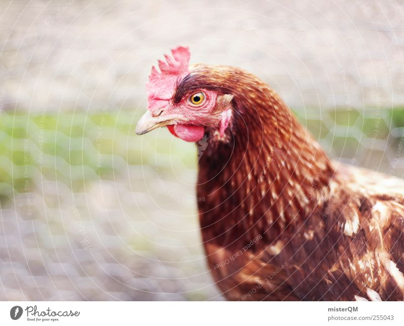 Village chuckles. Animal Pet Farm animal Bird Animal face Wing 1 Esthetic Feather Barn fowl Rooster Crest Organic farming Ecological Looking Eyes Captured