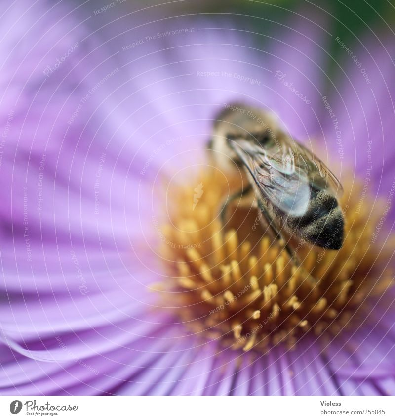 honeybee Nature Plant Animal Flower Blossom Bee Fragrance Near Hymenoptera chimme Striped Wing Margarites Macro (Extreme close-up) Colour photo Multicoloured