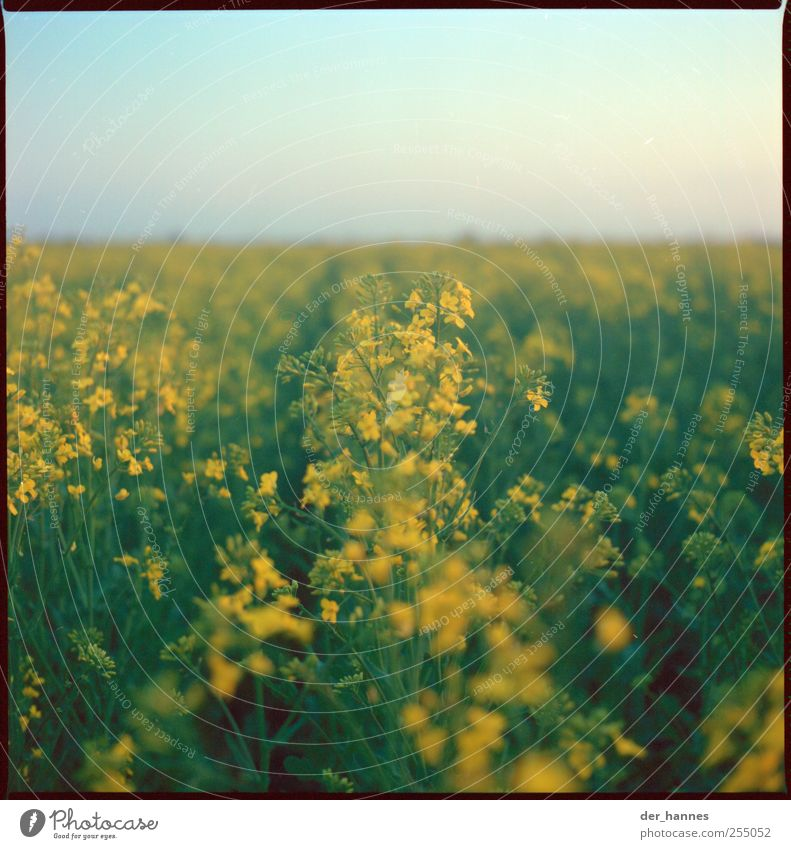 Tank times full Environment Nature Landscape Sky Cloudless sky Sun Summer Beautiful weather Plant Flower Blossom Agricultural crop Canola Field Growth Yellow