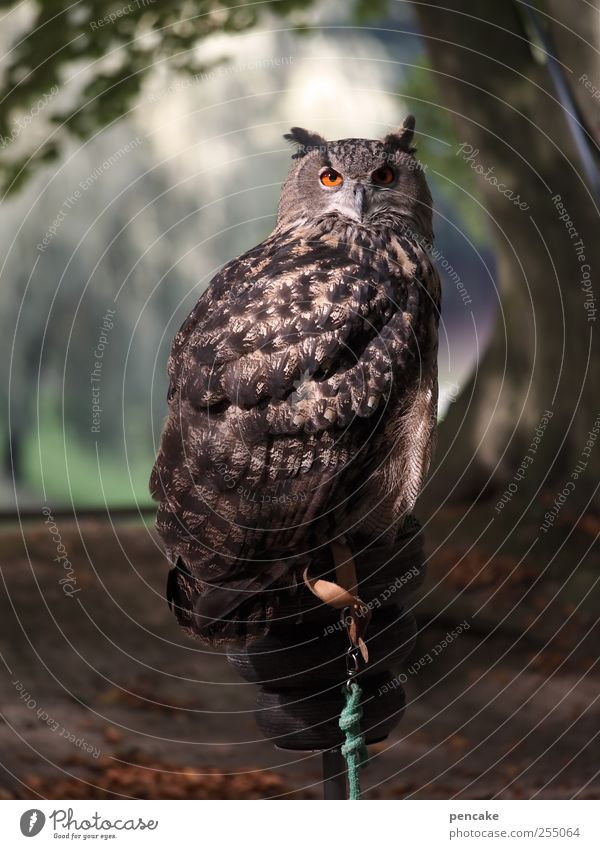 Green Calm Animal Gray Brown Esthetic Wild animal Zoo Watchfulness Wisdom Patient Owl birds Self Control Eagle owl