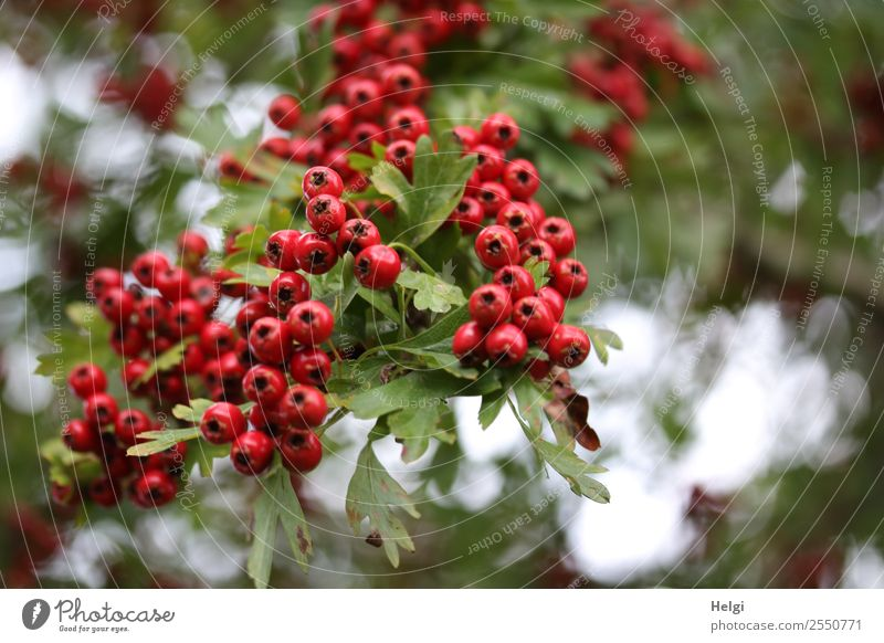 hawthorn berries Environment Nature Plant Autumn Bushes Leaf Wild plant Fruit Hawthorn Berries Berry seed head Twig Park Hang Growth Authentic Fresh Small