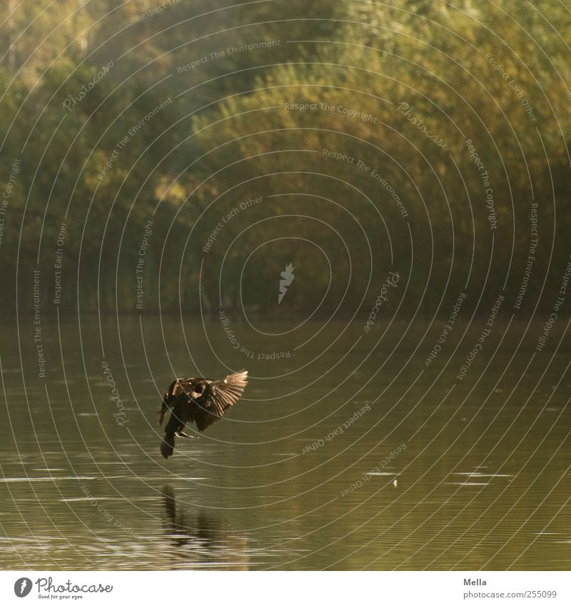 Nature Water Animal Environment Landscape Lake Bird Flying Natural Pond Landing Cormorant