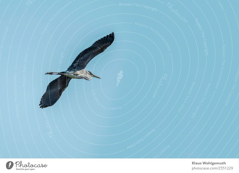 Gliding flight of a grey heron Environment Nature Animal Sky Cloudless sky Lakeside Beach Bog Marsh Pond River Bird Heron Grey heron 1 Flying Blue Gray Black