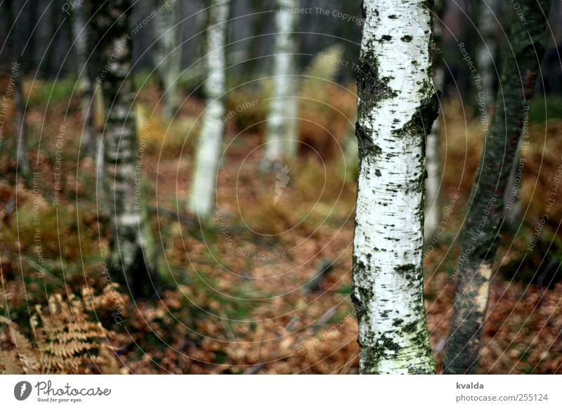birch forest Environment Nature Plant Autumn Tree Fern Forest Hiking Brown White Adventure Freedom Tourism Far-off places Birch wood Birch tree To go for a walk