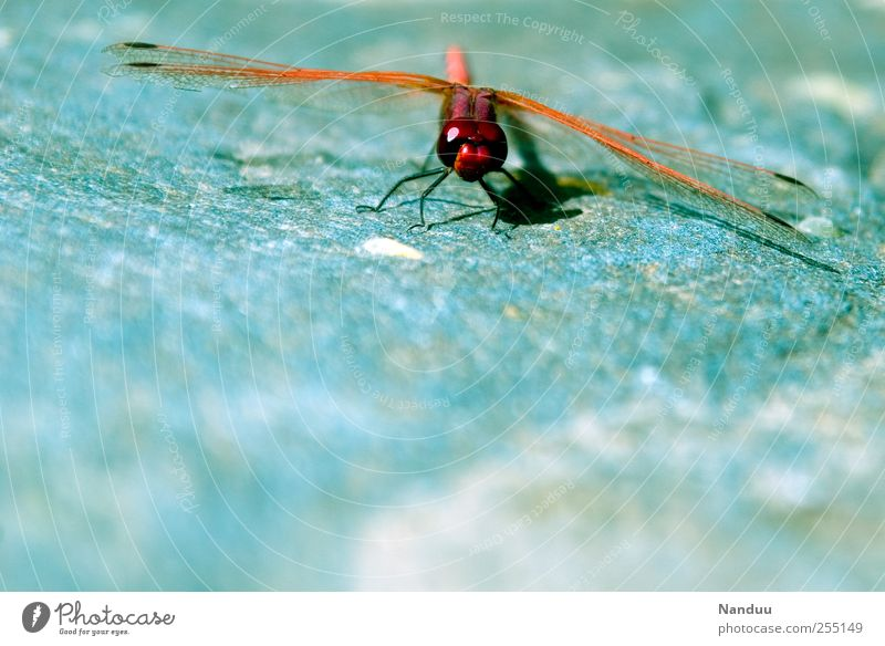 helicopters Animal 1 Dragonfly Insect Red Distinctive Macro (Extreme close-up) Multicoloured Departure Colour photo Exterior shot Looking into the camera
