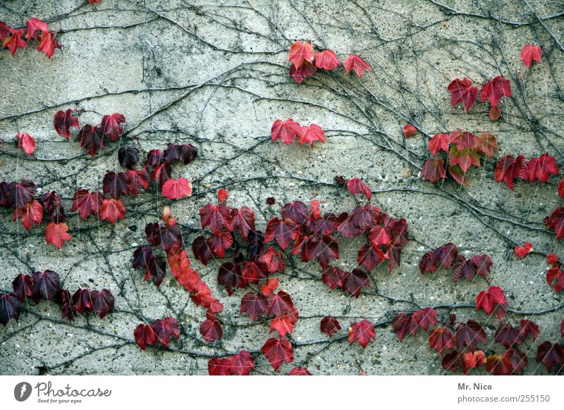 wallflowers Environment Nature Plant Autumn Ivy Building Wall (barrier) Wall (building) Facade Red Anticipation Environmental protection Concrete wall