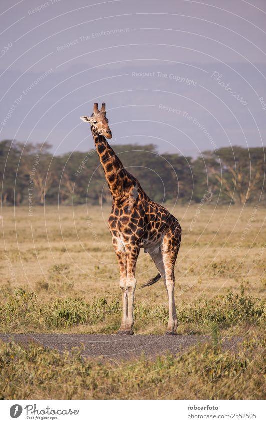 Giraffe in Lake Nakuru National Park, Kenya, Africa Vacation & Travel Tourism Safari Summer Nature Landscape Animal Sky Clouds Grass Natural Wild Blue Yellow