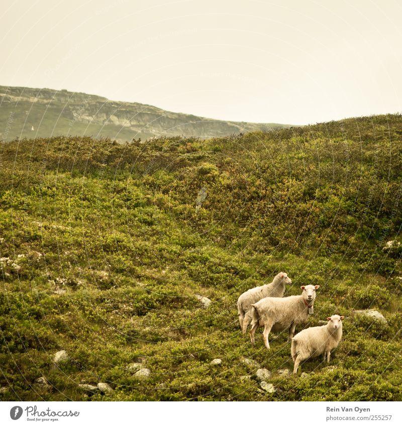 Norwegian sheep Environment Nature Landscape Plant Sky Cloudless sky Horizon Grass Bushes Moss Hill Mountain Animal Farm animal Sheep 3 Group of animals Herd