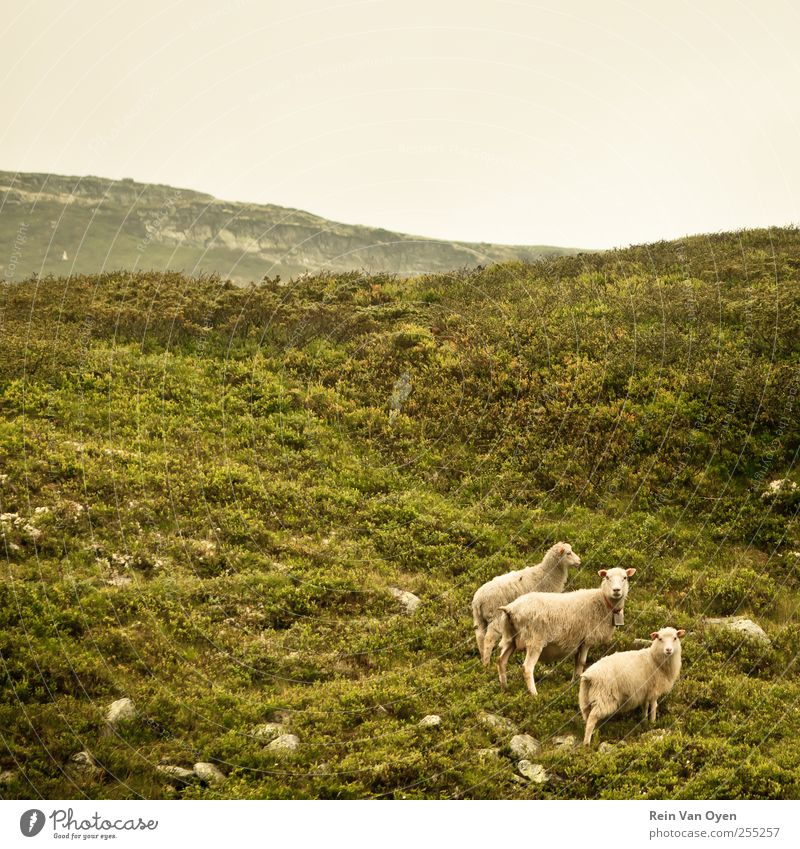 Norwegian sheep Sky Nature Beautiful Plant Animal Environment Landscape Mountain Grass Horizon Bushes Group of animals Observe Hill Sheep Moss