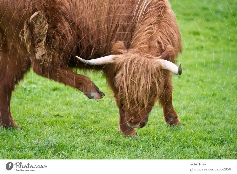 Arthrosis | signs of aging Animal Farm animal Cow Zoo 1 Brown Green Articulated Osteoarthritis Joint Cattle Beef Cattle farming Highland cattle Galloways