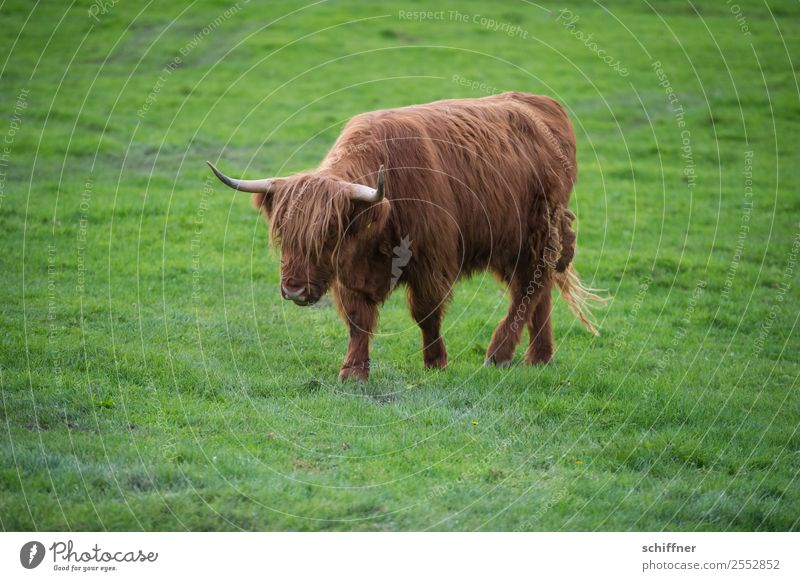 I'm lonely and deserted. Animal Farm animal Cow 1 Brown Green Cattle Cattle farming Meadow Pasture Grass Highland cattle Walking To go for a walk Loneliness