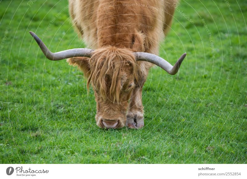 Lawn mower with steering linkage Grass Meadow Animal Farm animal Zoo 1 To feed Brown Green Highland cattle Cattle Beef Antlers Bullock Cattle farming