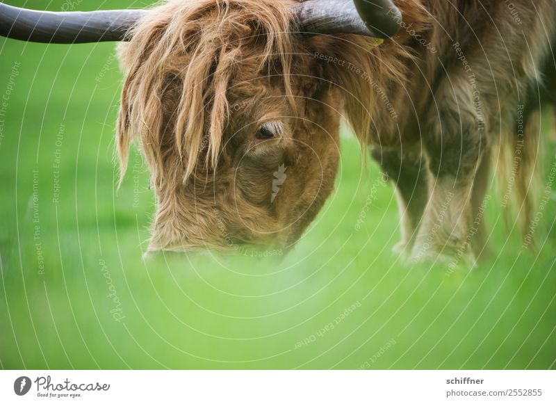 Frog feed perspective Animal Farm animal Cow Zoo 1 To feed Brown Green Cattle Cattle farming Highland cattle Pasture Exterior shot Deserted Copy Space bottom