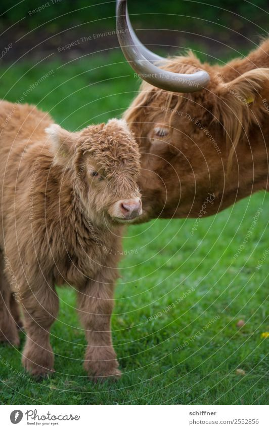 Motherly emotion. Animal Pet Farm animal Cow Zoo Petting zoo 2 Baby animal Animal family Brown Green Motherly love Cattle Cattle farming Highland cattle