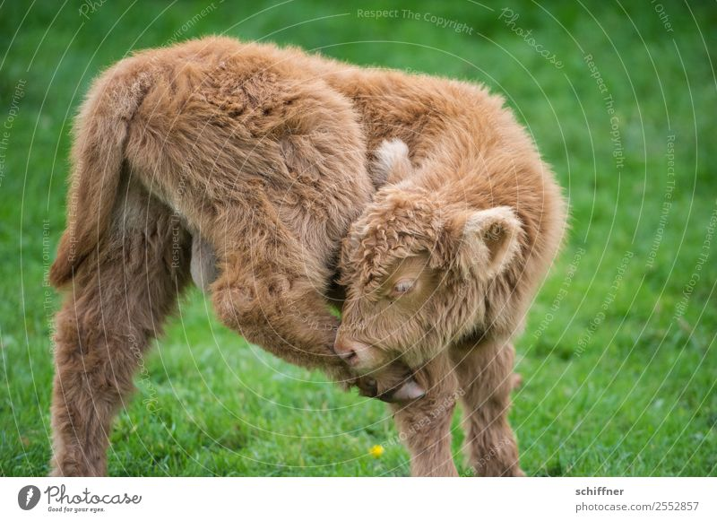 You got something on your hoof. Animal Pet Farm animal Cow Zoo Petting zoo 1 Baby animal Fitness Beautiful Brown Green Highland cattle Calf Pasture Dislocate