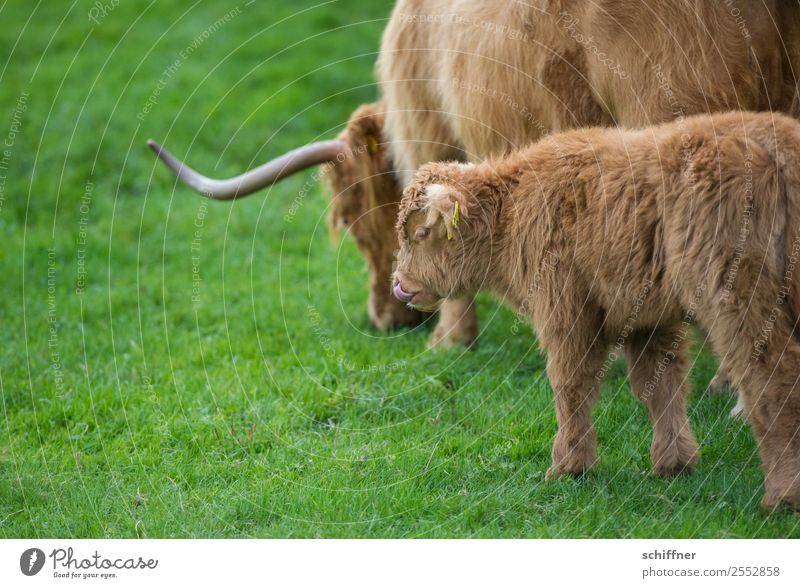 meal Animal Farm animal Cow Zoo 2 Baby animal Animal family Brown Green Cattle Cattle farming Highland cattle Calf Pasture Meadow Tongue Nostril Delicious