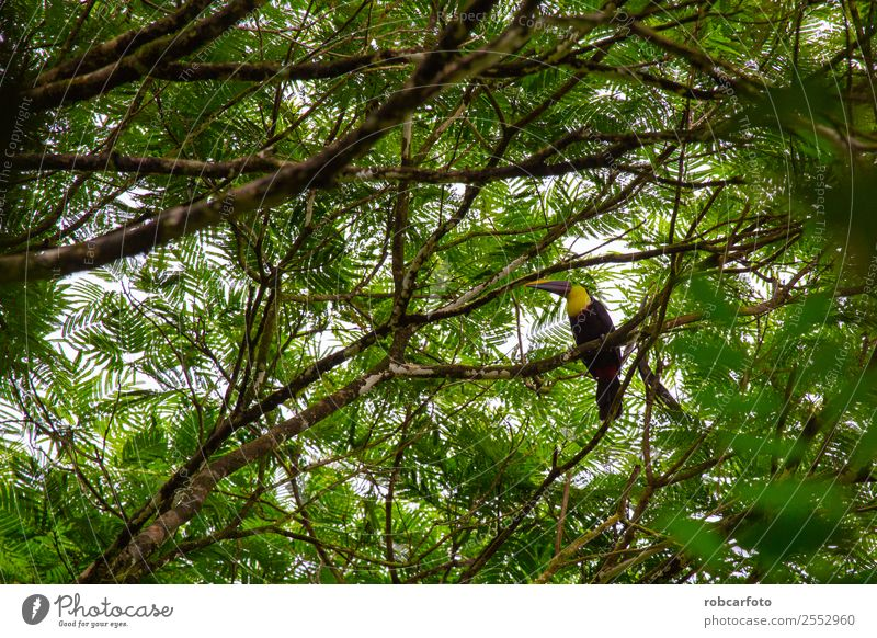 Toucan in Tortuguero Costa Rica Beautiful Nature Animal Rain Tree Park Forest Virgin forest Bird Cute Wild Yellow Green Black Ribs rica wildlife Tucans