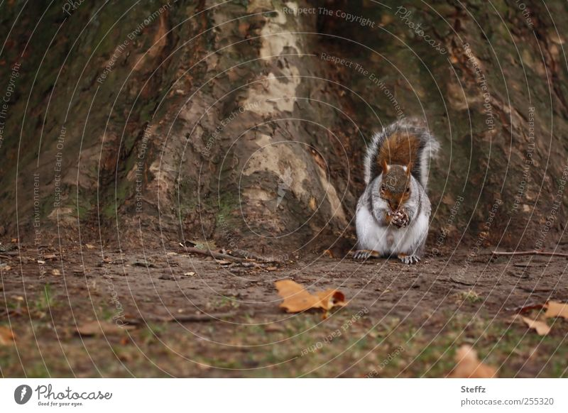 autumn squirrel Squirrel Wild animal Animal face Animal foot To feed Cute naturally Feed Paw Oak tree Tree trunk Autumn leaves Brown rodent Rodent Small