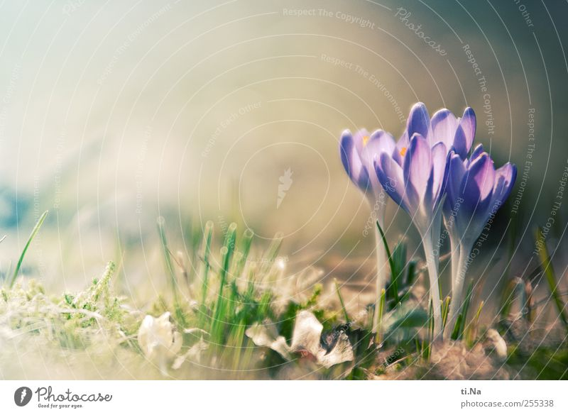 for you shall rain colorful pictures Environment Nature Landscape Plant Spring Beautiful weather Flower Blossom Crocus Blossoming Fragrance Growth Bright