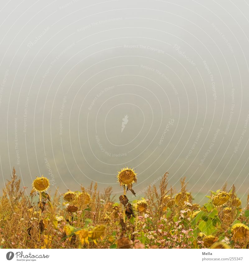 Nature Plant Flower Environment Field Time Fog Growth Gloomy Blossoming Past Decline Sunflower Faded Sunflower field