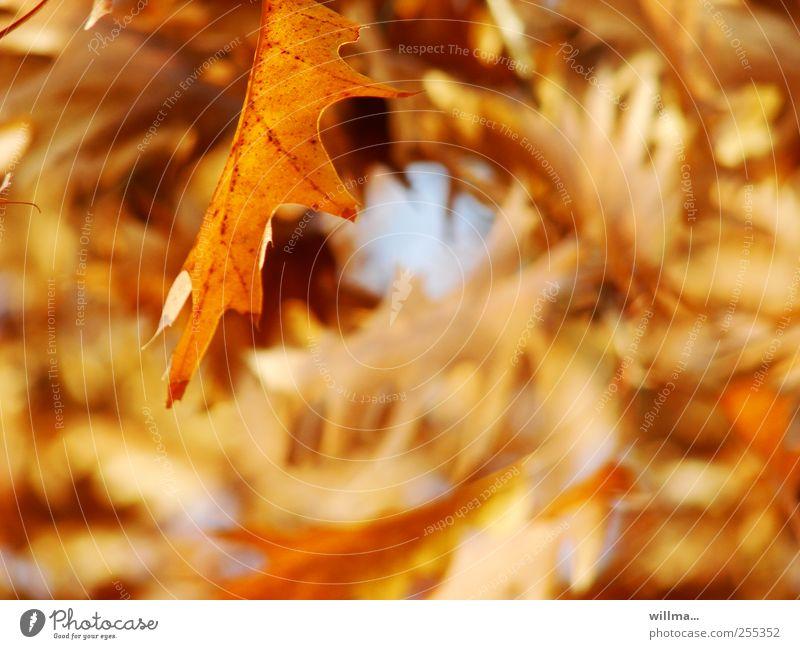 Nature Plant Leaf Yellow Autumn Brown Beautiful weather Autumn leaves Autumnal Autumnal colours Oak tree Leaf canopy Oak leaf