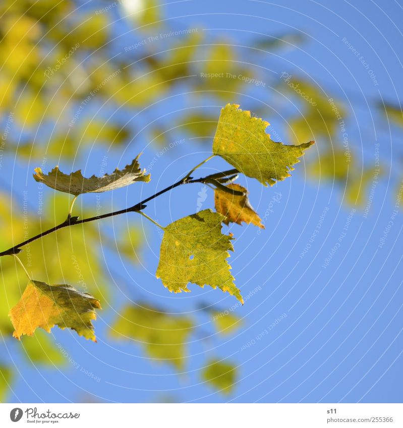 For you it shall rain colorful leaves... Environment Nature Plant Leaf Old Hang Elegant Beautiful Blue Yellow Green Autumn Autumn leaves Point Prongs Branch