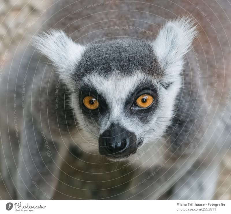Asking look Nature Animal Sun Sunlight Beautiful weather Wild animal Animal face Pelt Monkeys Ring-tailed Lemur Half-apes Eyes Ear Nose 1 Observe Glittering