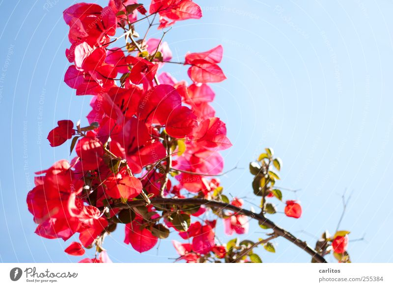 Blue Green Plant Red Summer Flower Blossom Esthetic Blossoming Beautiful weather Cloudless sky Congratulations Bougainvillea