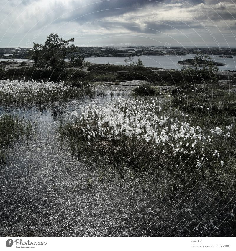 cotton grass Environment Nature Landscape Plant Water Sky Clouds Horizon Climate Weather Beautiful weather Tree Grass Bushes Wild plant Exotic Cotton grass Rock