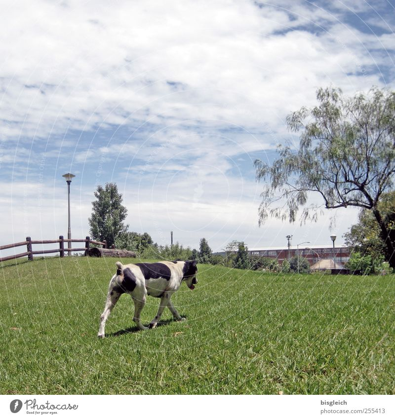 dog cow Sky Tree Grass Meadow Pasture Dog 1 Animal Walking Blue Green Black White Colour photo Exterior shot Deserted Day
