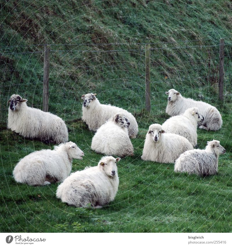 sheep Meadow Pasture Sheep Group of animals Herd Lie Looking Green White Contentment Serene Calm Colour photo Subdued colour Exterior shot Deserted