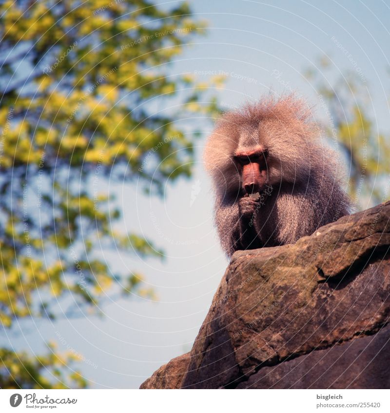 Alphatier II Animal Wild animal Zoo Monkeys Baboon 1 Sit Blue Gray Green Dominant Power Contentment Colour photo Exterior shot Deserted Day