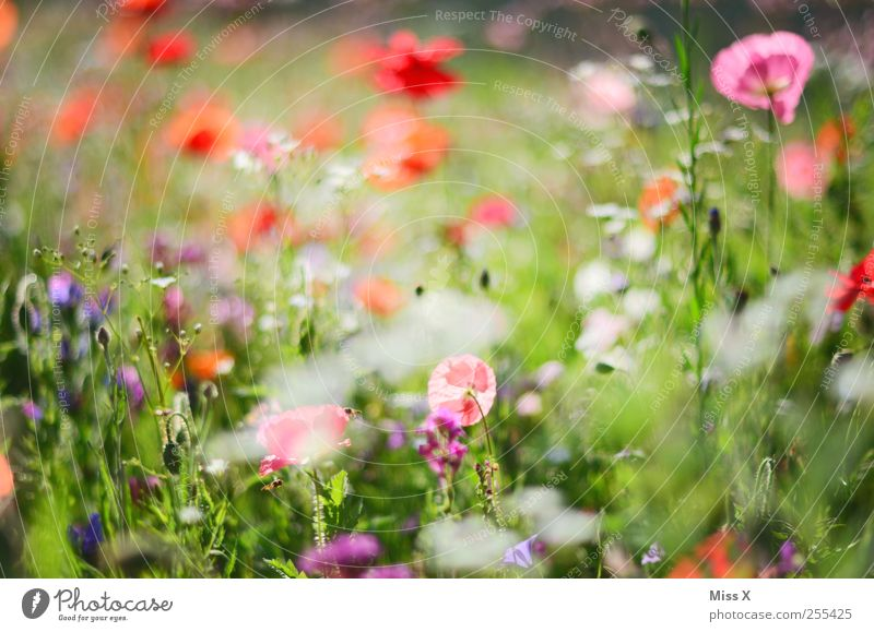 for you shall colorful pictures and rain Spring Summer Plant Flower Grass Leaf Blossom Blossoming Fragrance Growth Multicoloured Poppy Poppy blossom Poppy field