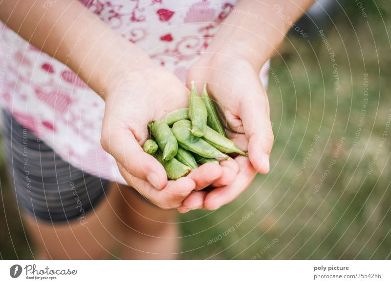Young child harvests sugar snap peas Food Healthy Eating Leisure and hobbies Parenting Education Study Child Young woman Youth (Young adults) Infancy Hand