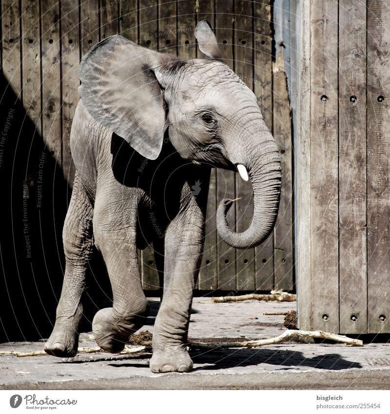 dumbo Animal Wild animal Zoo Elephant Elefantears Trunk Tusk Elephant skin 1 Baby animal Wood Walking Small Cute Brown Gray Joy Happy Joie de vivre (Vitality)