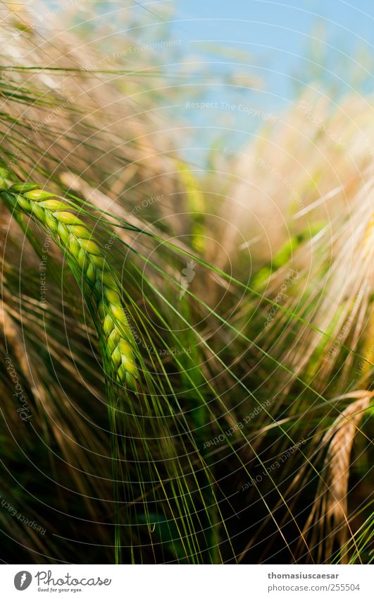 In the barley field Nature Summer Plant Agricultural crop Barleyfield Grain Field Simple Fresh Long Sustainability Clean Point Dry Yellow Green Warm-heartedness