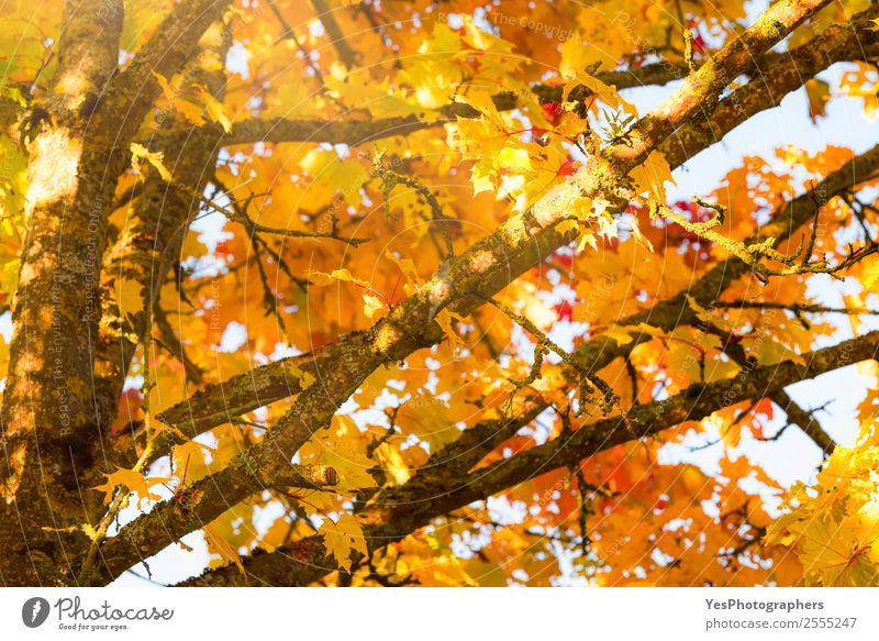 Tree branches with yellow autumn leaves Wallpaper Environment Nature Autumn Beautiful weather Leaf Bright Natural Yellow Gold Orange Red Colour November October
