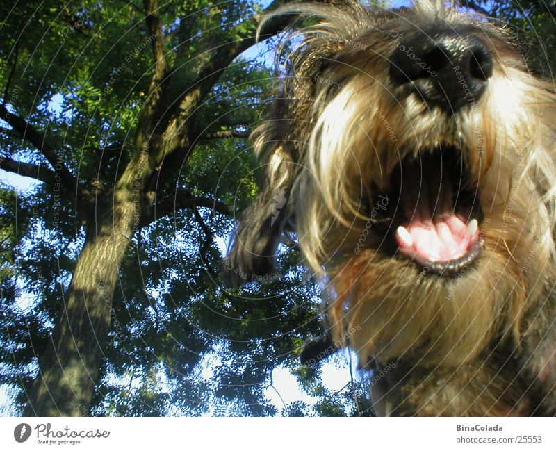 Nature Animal Hair and hairstyles Laughter Dog Mouth Nose Lips Set of teeth Pelt Animalistic Pet Muzzle Dachshund