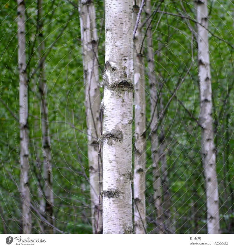 Swedish birch grove Environment Nature Plant Summer Tree Leaf Birch tree Birch wood Tree trunk Twig Twigs and branches Tree bark Birch bark Forest Stand Growth