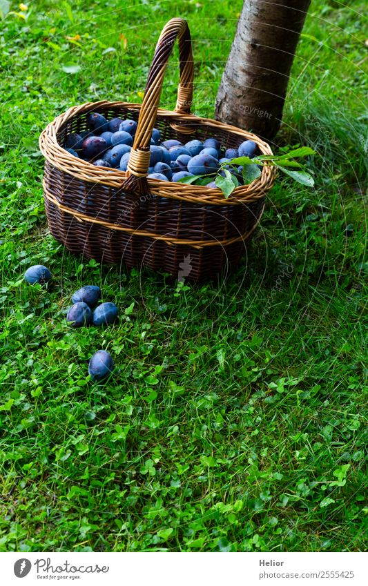 plum harvest Food Fruit Dessert Organic produce Summer Garden Nature Autumn Tree Grass Eating Fresh Healthy Delicious Juicy Blue Brown Green To enjoy Harvest