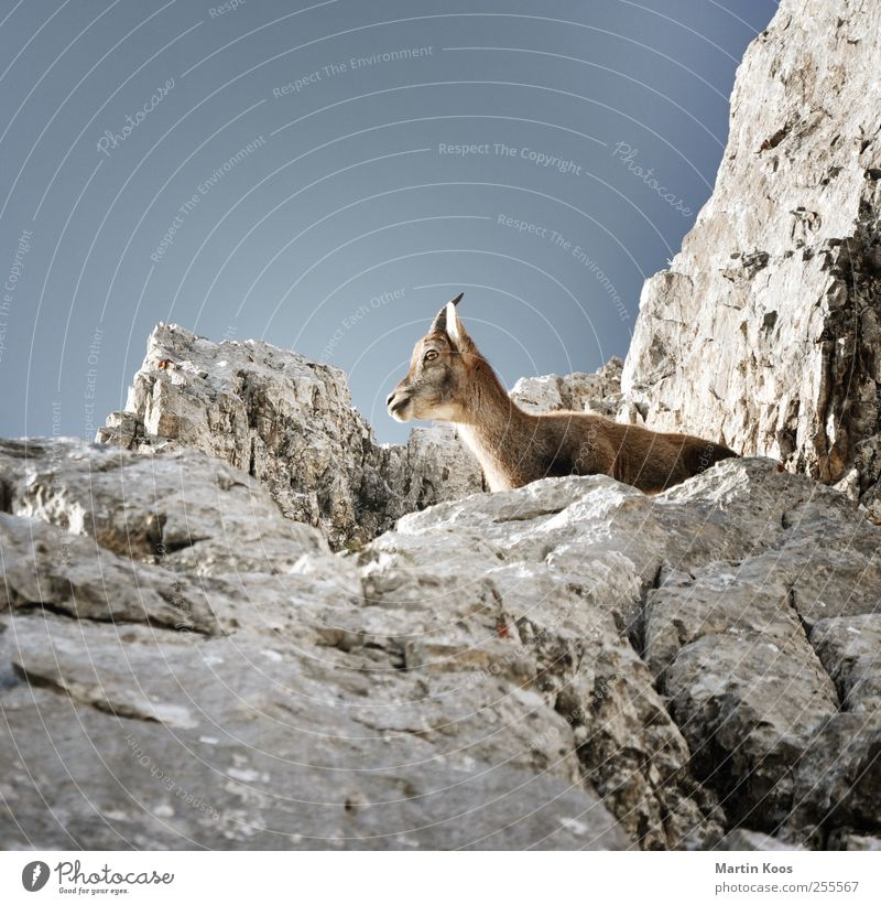 Nature Animal Mountain Freedom Baby animal Rock Wild animal Wait Observe Pelt Animal face Vantage point Antlers Sky blue Goats Buck