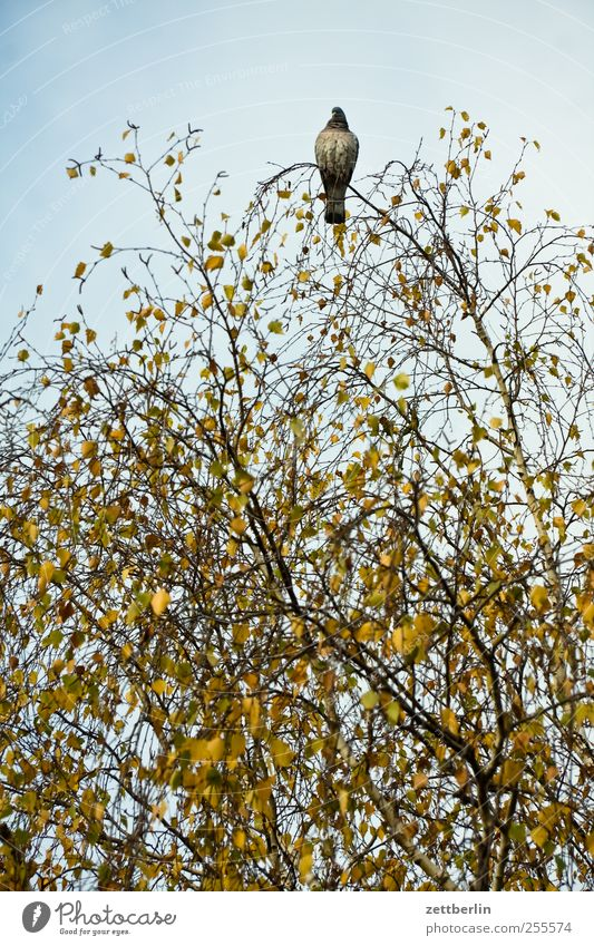 Pigeon on birch Environment Nature Plant Animal Autumn Climate Climate change Weather Tree Bird 1 Sit Wait Birch tree Above Sky Leaf canopy Autumn leaves