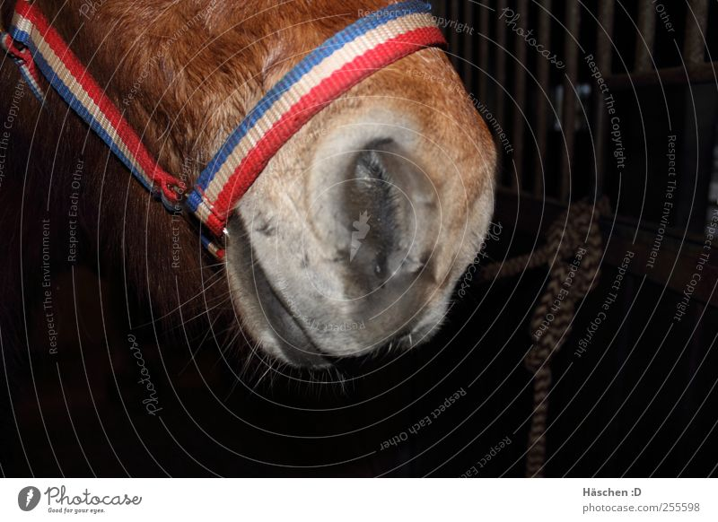 Icelandic Schnute Brunette White-haired Short-haired Horse 1 Animal Steel Rust Knot Brown Horse's muzzle Iceland Pony Icelander Mouth Snout Muzzle Halter Rope