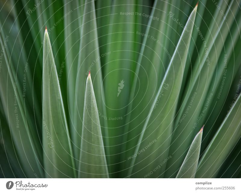 Green & Spitz Environment Nature Plant Cactus Leaf Foliage plant Exotic Thorny Structures and shapes Background picture Colour photo Detail Day