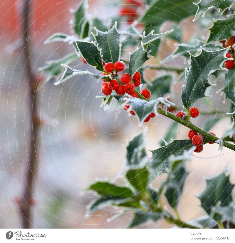 The first frost... Nature Plant Winter Ice Frost Leaf Foliage plant Garden Cold Red Illuminate Bright Colours Ilex Holly leaf Christmas & Advent Winter mood