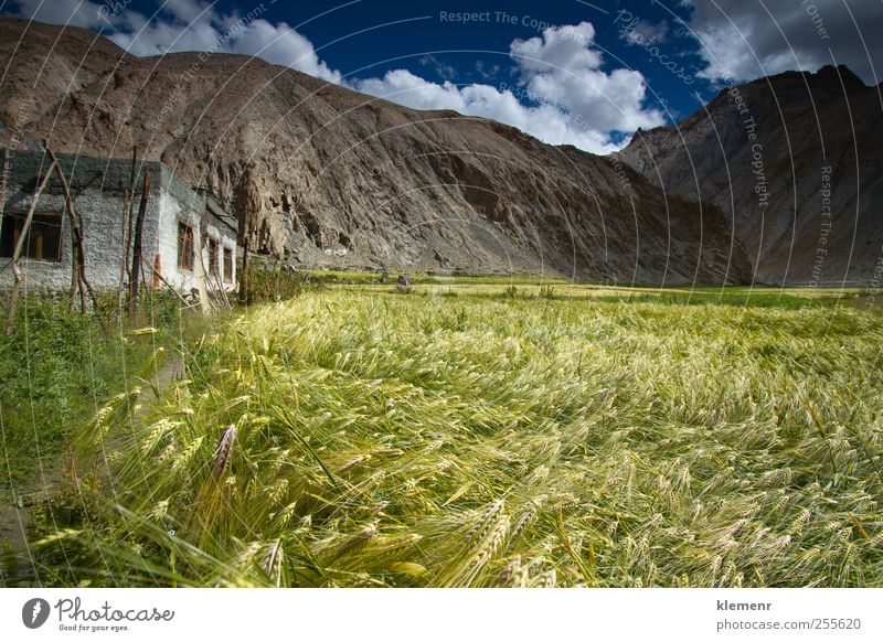 Wheat field located in Marhka Valley near city of Leh India Nature Landscape Earth Clouds Plant Field Hill Mountain Village House (Residential Structure)