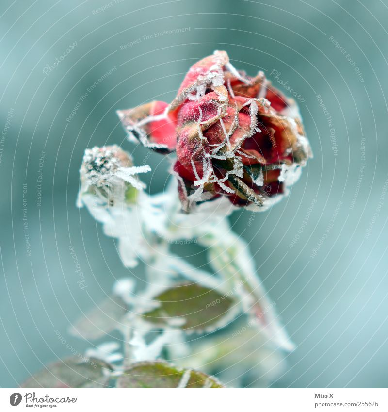 Plant Leaf Winter Cold Death Snow Blossom Garden Ice Frost Rose Transience Frozen Bad weather Faded Hoar frost