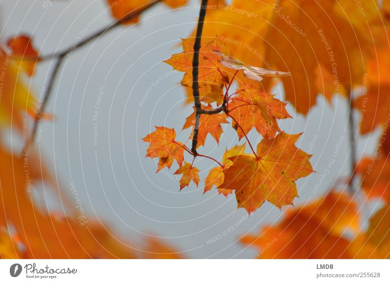 Golden Perspective Environment Nature Plant Tree Leaf Yellow Orange Autumn leaves Maple leaf Maple tree Branch Colour photo Exterior shot Copy Space left