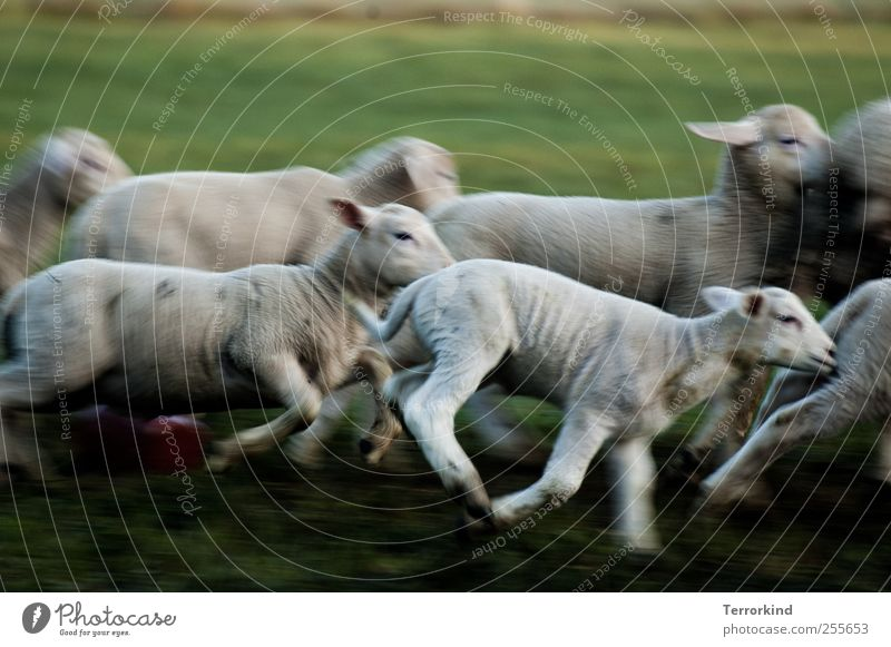 Chamansülz hunt. Sheep Lamb Running Walking Playing Beat Catch Meadow Green Juicy Morning Movement Small White Pelt Soft ears.
