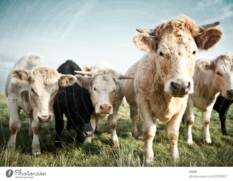 Little troubles with the cows Organic produce Nature Animal Meadow Farm animal Cow Group of animals Herd Beautiful Natural Cute Love of animals Country life